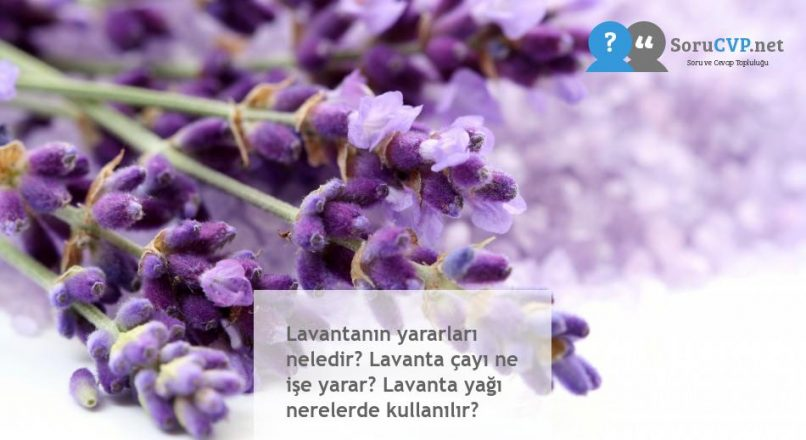Lavantanın yararları neledir? Lavanta çayı ne işe yarar? Lavanta yağı nerelerde kullanılır?
