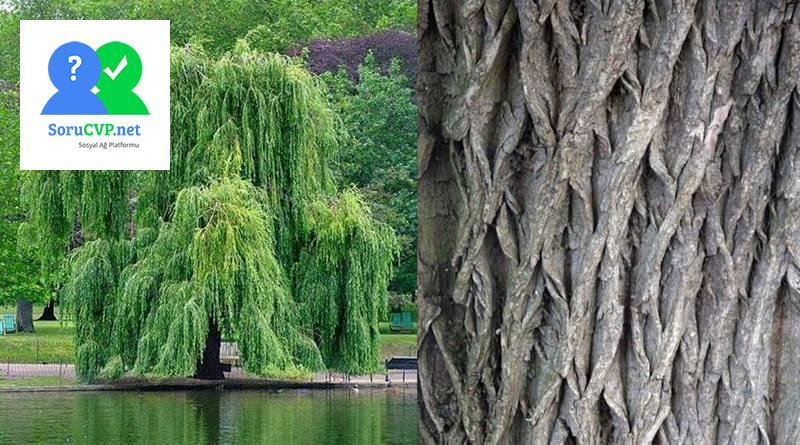 Ak Söğüt Ağacı Kabuğu'nun çayı